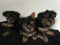AKC Champion Yorkie Puppies They are fully registered