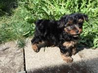 AKC Champion Yorkie Puppies I have 2 female Yorkie