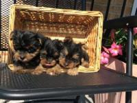 AKC Champion Yorkie Puppies Available I have a male and