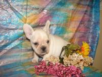 THIS IS A BEAUTIFUL SMALL, COBBY BODY ON A FRENCHIE.