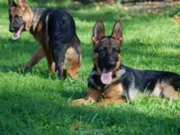 AGUSTA IS AKC German Shepherd young puppy. Come from