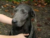 Akc charcoal labrador 5 months old uo to date on all