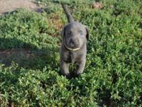 AKC registered charcoal male lab. He weights 71/4