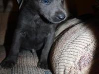 AKC Male Charcoal Labrador Ready on 4/24/14 $850