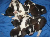 Pure-bred AKC Chesapeake litter due September 27th.