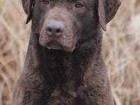 Champ sired chesapeake new puppies due the end of