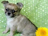 Gorgeous long coat chihuahua male. Affectionate and