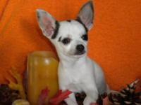 Akc male Chihuahua 3 yrs. old blue and white. Have