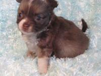 This little longcoat choco sabled fawn/white boy is