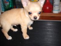 I HAVE 2 LITTERS OF CHIHUAHUA PUPPIES. ONE LITTER BORN