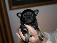 AKC Male Chihuahua is $200. He is fawn spotted on white