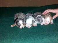 I have a litter of Chihuahua puppies, all males three