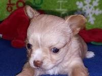 I have three adorable long coat teacup Chihuahua young