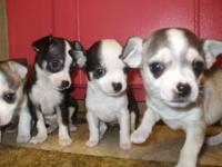 For Sale AKC teacup Chihuahua Puppies. 3 Males and 1