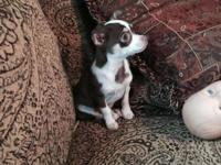 AKC Chihuahua puppies for sale. We have one smooth coat