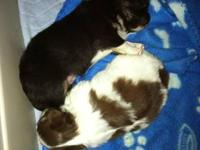 I have 2 Male Long coat Chihuahua puppies available.