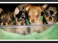 AKC Chihuahua Born 7/11 3 males (1-long coat 2- short
