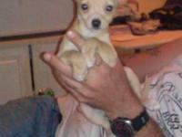 akc Chihuahua puppies ready now for their forever home
