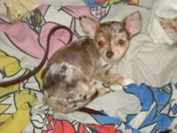 AKC chocolate merle female chihuahua puppy. She is an