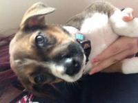 Handsome brindle male chihuahua puppy. He has a black