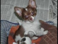 AKC Chihuahua Puppy 12 Weeks old with Champion