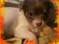 I have 4 AKC Chihuahua puppies ready in 4-6 weeks! They