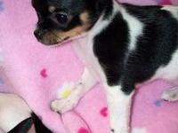 AKC Female is being sold as pet only, born Sept 20th,