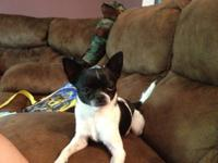 I currently have my AKC male Chihuahua for sale, but am