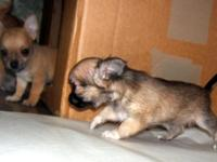 beautiful akc Chihuahua very small... One female long