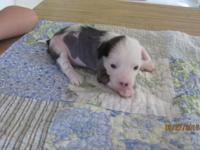 AKC Chinese Crested Hairless Male. Prince is going to
