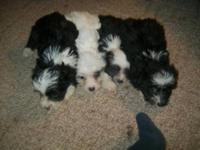 REDUCED-AKC Chinese Crested cream/ white boy ( no he is