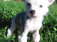 Available: AKC Chinese Crested Hairless Males. DOB