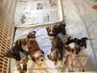 Beautiful litter of AKC Chinese crested puppies born