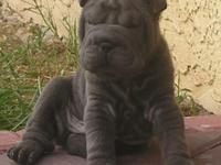 Chinese Shar-pei Puppies. Will certainly be prepared on