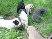 We havE 8 Adorable Chinese Shar pei puupies, they will