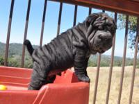 AKC Chinese Shar-Pei Puppies! You can see all of our