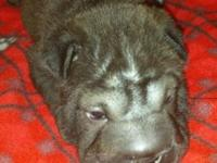AKC Chinese Shar-Pei Puppies for Sale - we have 4
