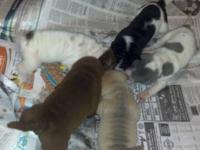 Akc Chinese Shar pei puppies for sale. Starting from