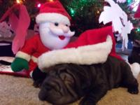 AKC black lady is just in time for under the tree this