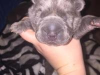 AKC Chinese Sharpei, we have two boys and one girl