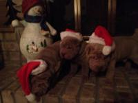 AKC Chinese Sharpei puppies 2 Lilac Males 1 Lilac