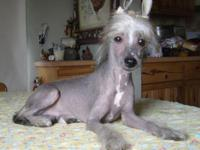AKC Chinese Crested Hairless Male named Mickey. He is a