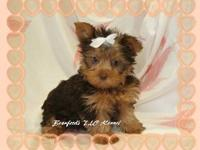 Yorkshire Terrier Pups from 2  to 7 lbs full grown. All