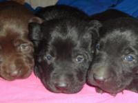 Classy Labradors has a litter of AKC Chocolate and