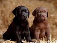AKC SIR HERSHEY CHOCOLATE AND BLACK LAB PUPS READY DEC