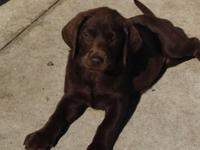 Just 2 beautiful lab puppies left !! One male chocolate
