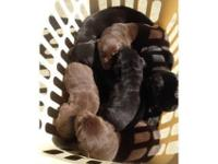 Beautiful Lab young puppies, $550.00, Chocolate & &