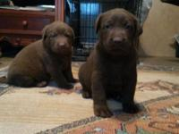 Akc big beautiful chocolate and yellow labs these labs