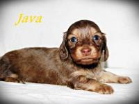 ~Java~ is a chocolate based red/cream long coat female