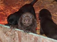 There is still 2 Black Lab males available @ $400.00